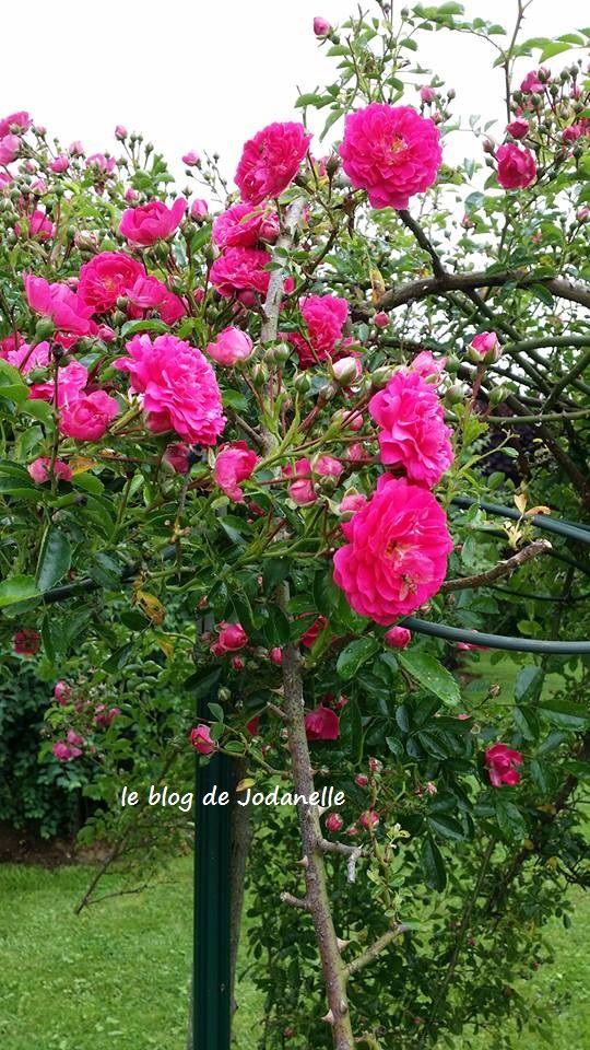 rosier pleureur