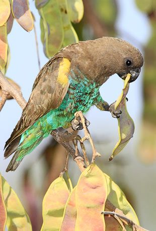 Meyer's Parrot= now i know im a bird brain when they name one after me