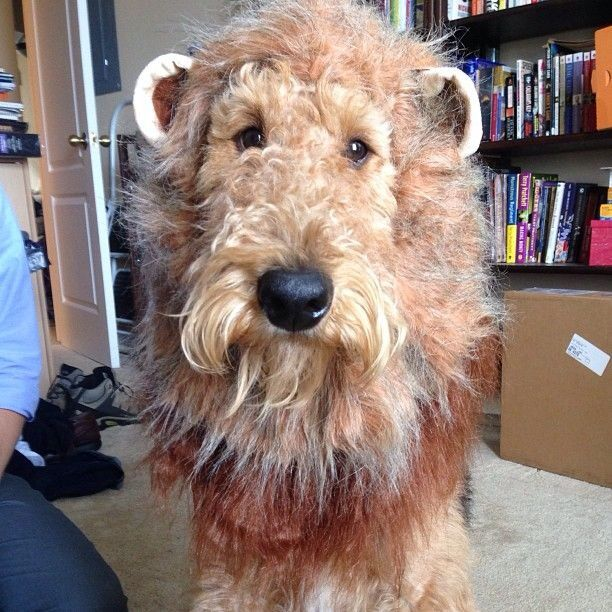84 best Airedale terrier images on Pinterest  Airedale terrier, Doggies and Welsh terrier