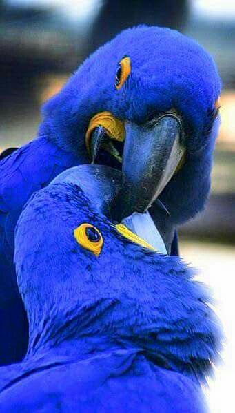 Brilliant blue parrots.