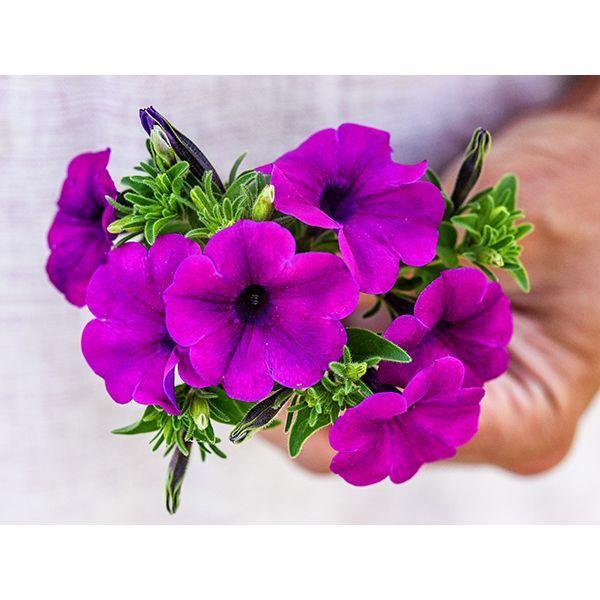 Wild Violet Petunia In 2020 Petunia Flower Flower Seeds Petunias