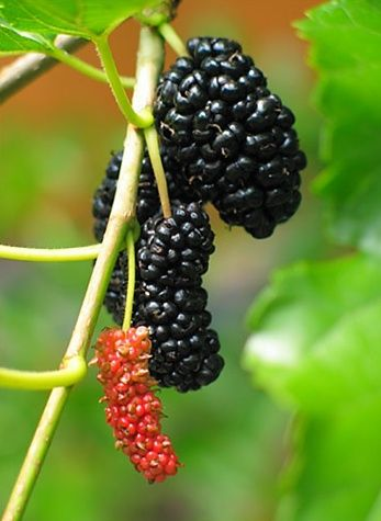 Mulberry bush. I had one of these growing up. They we're so yummy fresh off the bush.