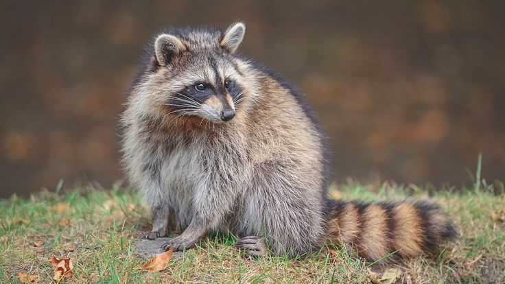 """1.Raccoons Raccoons are an integral part if the ecosystem on the mainland coast of British Columbia. They are versatile scavengers requiring only a source of food, water and a safe place to nest. According to Canadian Geographic """"Raccoons are one of the few animals that is successfully able to go from family pet back to ..."""