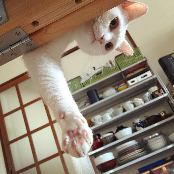 握手会にぎにぎしてイ〜よ #八おこめ #ねこ部 #cat #握手会