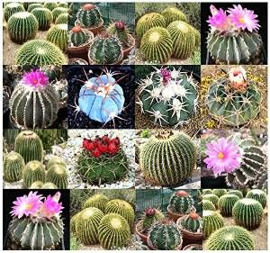 ornamental cactus, for more detail about cactus care please visit http://goo.gl/sYuFRe..
