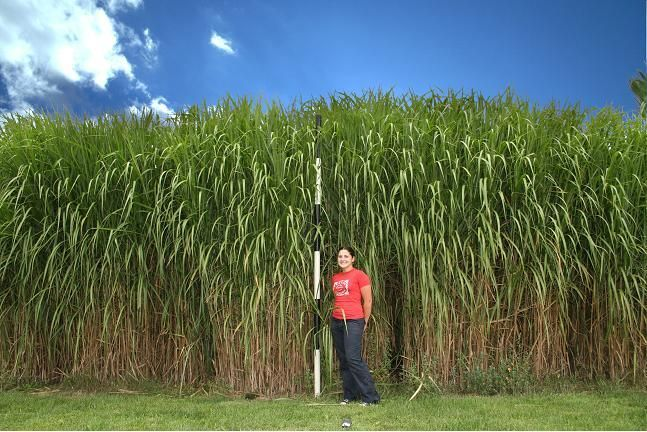 Miscanthus giganteus giant chinese silver grass for Giant ornamental grass