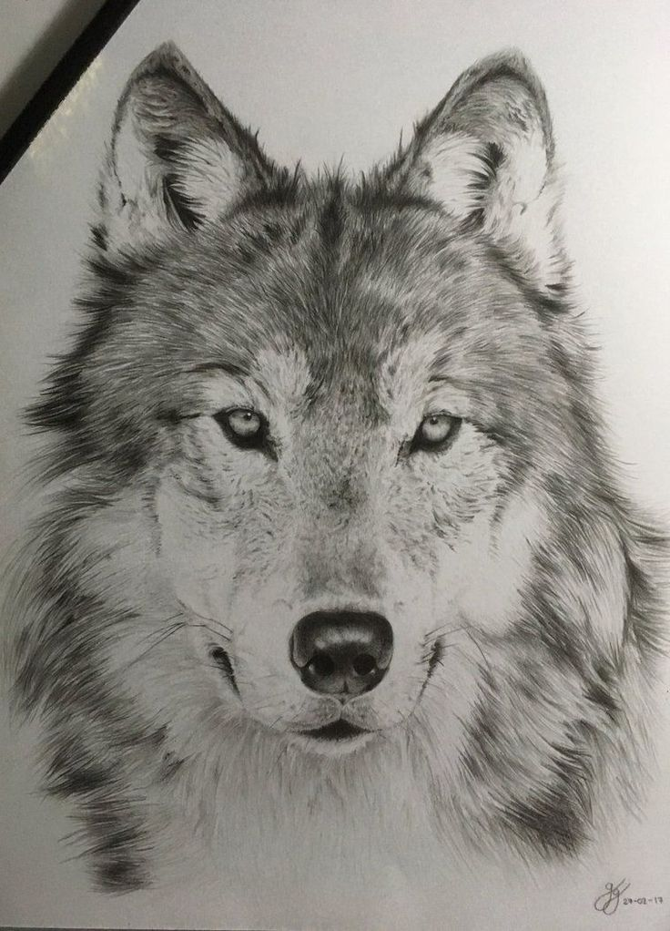 how to draw a real looking wolf