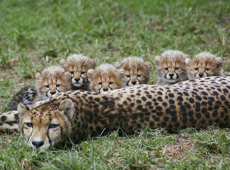 Mother cheetah and six cubs