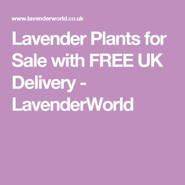 Lavender Plants for Sale with FREE UK Delivery - LavenderWorld