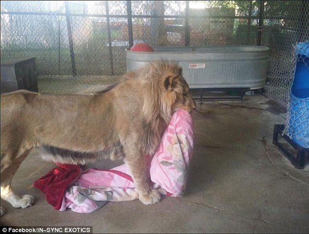 Keahey decided to give him a blanket when he first went into his enclosure. She said: 'He ...
