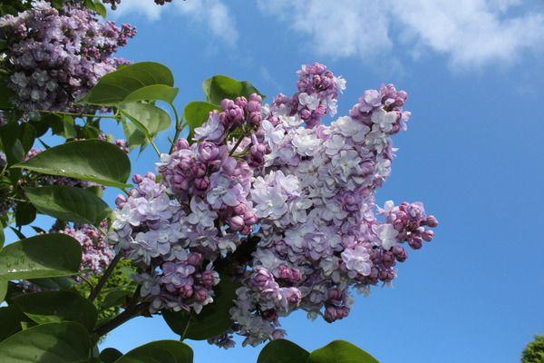Flieder, Edelflieder Katharine Havemeyer: Syringa vulgaris Katharine Havemeyer: Französischer Flieder mit violetter Blütenfarbe und kegelförmigen Rispen
