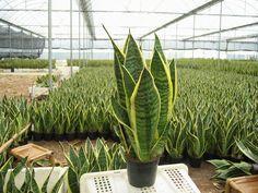 Cuidados de la Sansevieria, una planta ideal para conciliar el sueño | Plantas