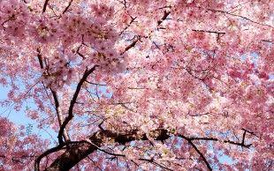 Весна, розовые, лепестки, сакура, ветви, восток обои, фото, картинки