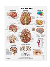 AliMed 82837 The Brain Charts