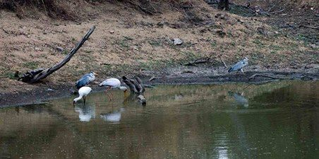At one of the dams near Shiduli we were thoroughly entertained watching this group of Herons, Yellow Billed Storks and Spoonbills enjoy some easy pickings due to the low water level which condensed the fish into a much smaller area!