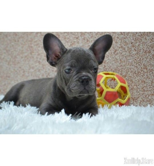 French Bulldog Exclusive Puppies Price 1 700 With Images