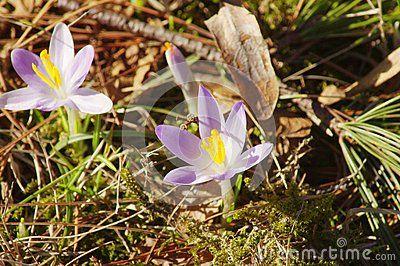 Close up violet crocuses bloom