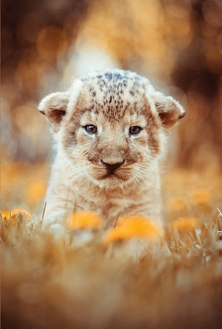 This lion cub is like me cuz my dad is a lion.