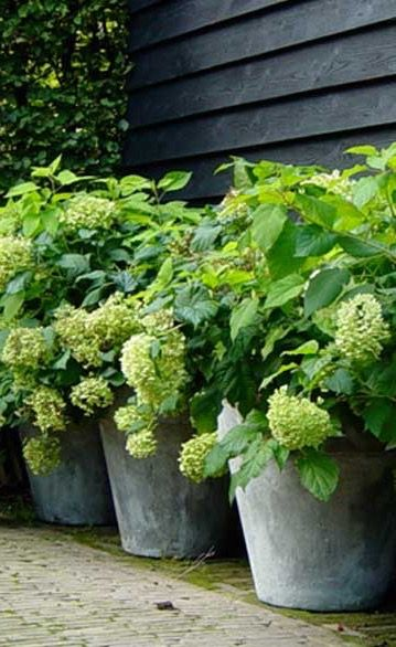 Inspiration ♧ Hydrangeas Potted