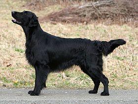 El Cobrador de pelo liso o Retriever de pelo liso —en inglés Flat-coated retriever— es una raza de perro procedente del Reino Unido. Fue desarrollado como un perro de caza perdiguero tanto para trabajar en tierra como en el agua como perro cobrador