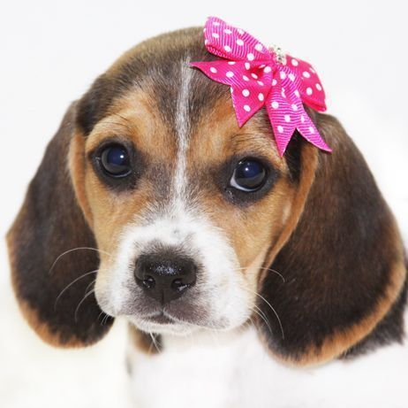 Puppy Love Pocket Beagle Puppy Kisses Dog Companion Best Friend Beagle Miniature Beagle Puppies Puppy dog #Beagle