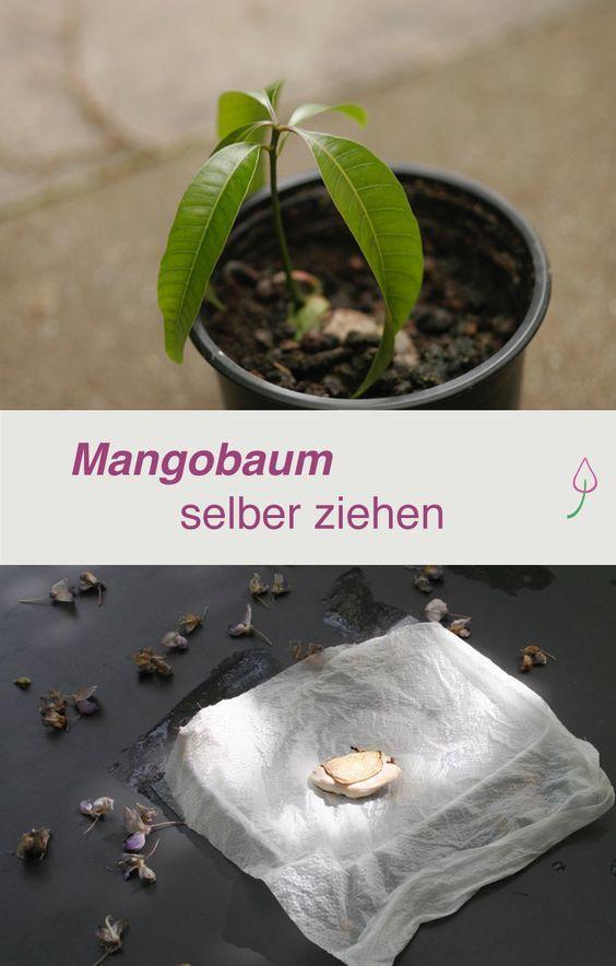 Mango Pflanze aus einem Mangokern ganz einfach selber ziehen!