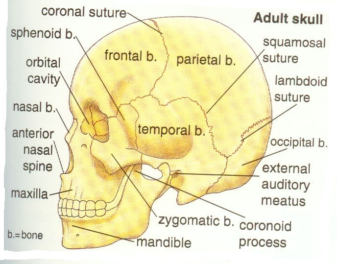 16 best bones in the leg images on pinterest human body anatomy parts of the adult skull ccuart Gallery