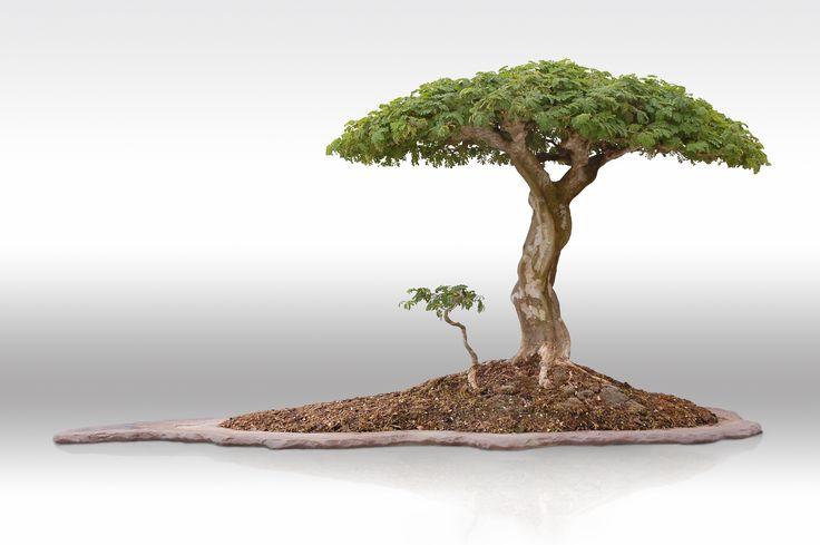 Brazilian raintree by erik wigert african flat top bonsai for Famous bonsai trees
