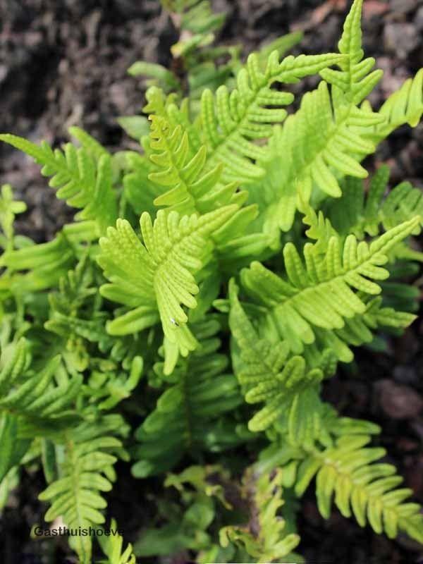 Varens wintergroen winterhard. De Eikvaren, Polypodium vulgare, kopen via de webshop.