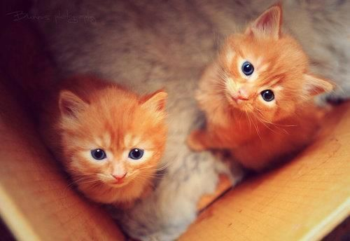 manx kittens with blue eye