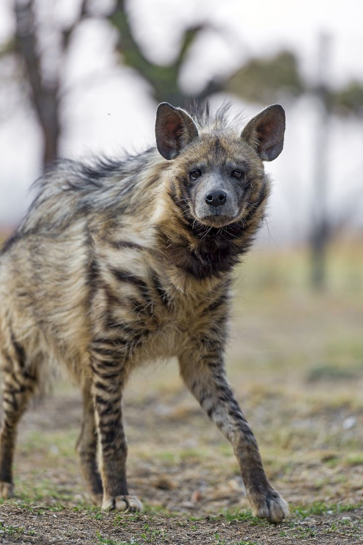 https://flic.kr/p/zqhn4Y | Attentive walking striped hyena | A striped hyena looking at me, who doesn't know if (s)he should walk or not...