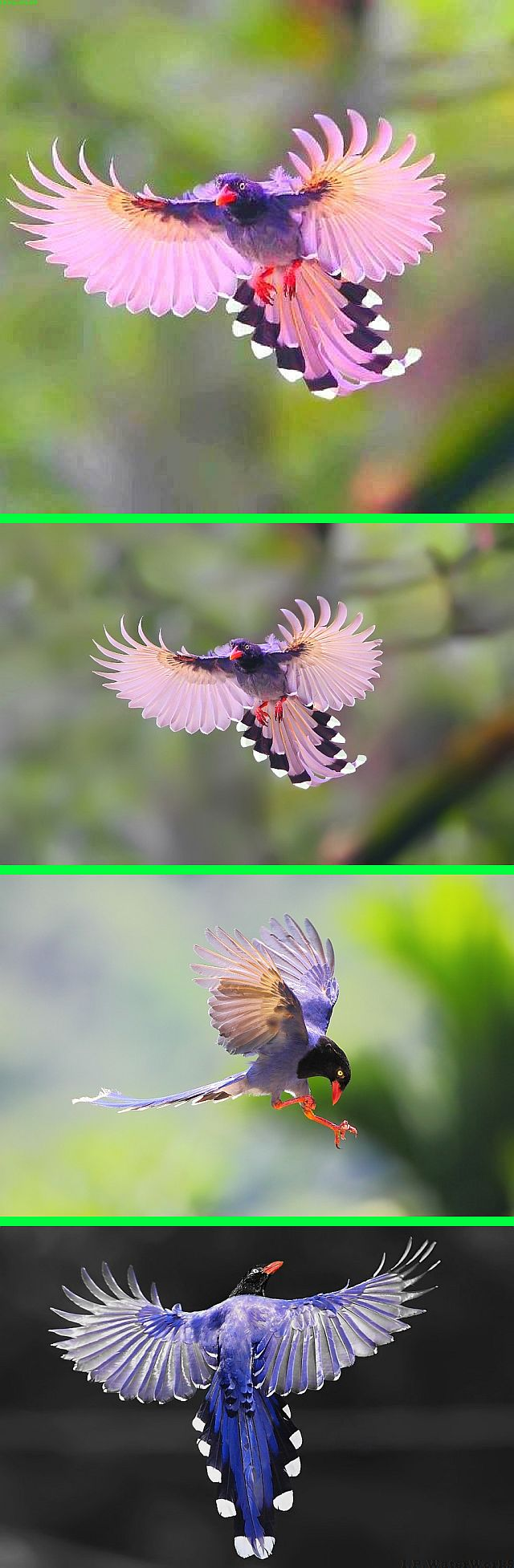"Fake - The top altered image is pinned as ""Pink Bird of Paradise"" - The rest are real by Dajan Chiou on 500PX and depict the  Taiwan Blue Magpie (Urocissa caerulea), also called the Taiwan Magpie or Formosan Blue Magpie (Chinese: 臺灣藍鵲; pinyin: Táiwān lán què) or the ""long-tailed mountain lady"" (Chinese: 長尾山娘; pinyin: Chángwěi shānniáng; Taiwanese: Tn̂g-boé soaⁿ-niû), is a member of the Crow family. It is an endemic species living in the mountains of Taiwan at elevations of 300 to 1200m."