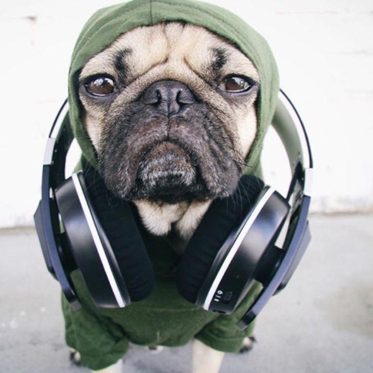 itsdougthepug wearing max-bone dog hoodie