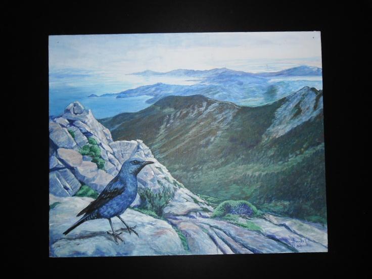 Blue Rock Thrush on M.Capanne, Elba Island, Tuscany