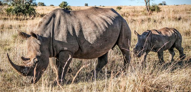 US Army Veterans Find Peace in Protecting Rhinos from Poaching - In South Africa, former soldiers are fighting both the illegal wildlife trade and the twin scourges of unemployment and PTSD