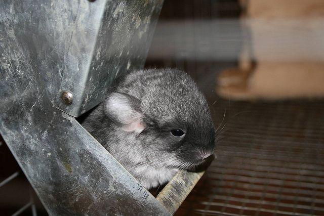 Emergency chinchilla dispenser: Emergency Chinchillas,  Native Bears, Chinchillas Dispenser, Installations Chinchillas, Sad Chinchillas,  Koalas Bears,  Kangaroos Bears