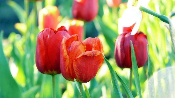 amazing red tulips - http://1080wallpaper.net/amazing-red-tulips.html