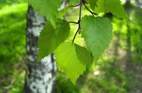 Берёзовые листья лечебные свойства и противопоказания