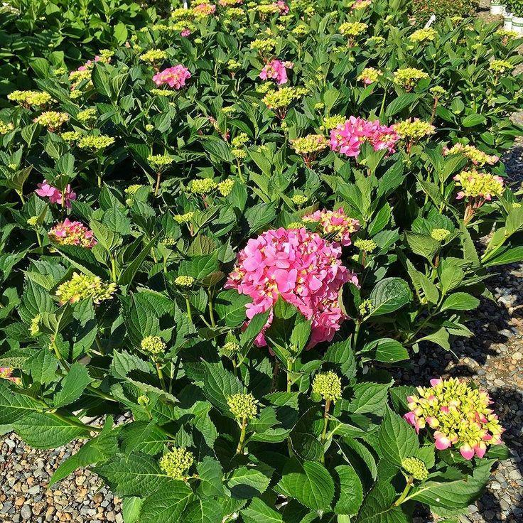 17 best images about garden perennials zone 8 on pinterest white flowers plant catalogs. Black Bedroom Furniture Sets. Home Design Ideas