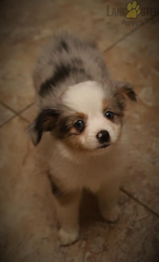 Max Mini Australian Shepherd Puppy For Sale In Allensville Pa