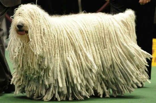 Komodor-chien-berger-hongrois Le Komondor ou berger hongrois