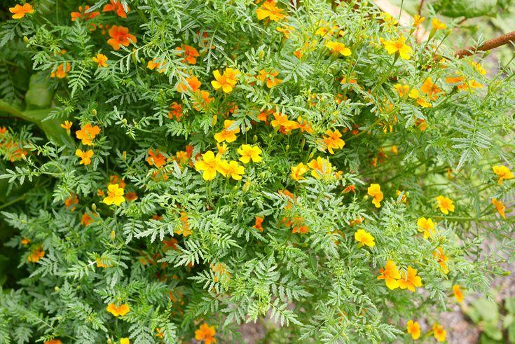 Tagetes tenuifolia tuulinenpaiva.fi