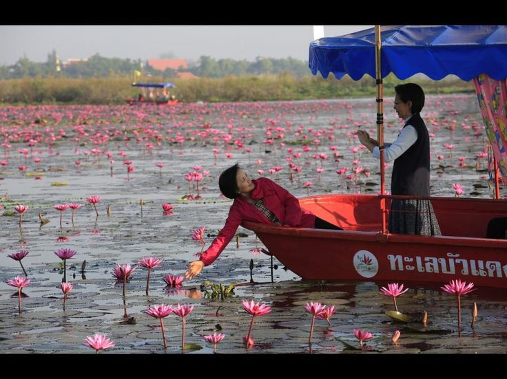 Lotusblomster farver thailandsk sø lyserød | Viden | DR