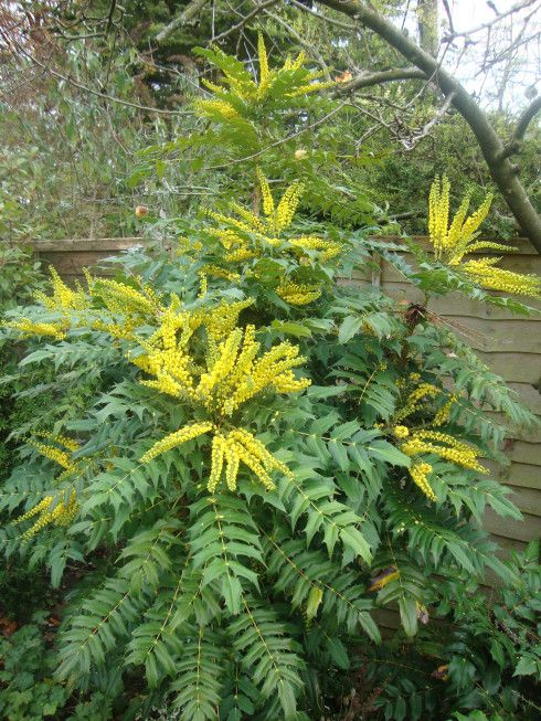 Mahonia japonica - flower in winter