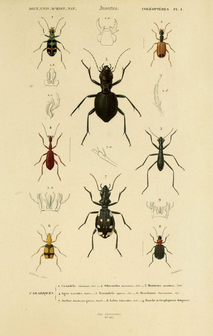 img/dessins couleur insectes/dessin insectes 0125 brachinus succinctus.jpg