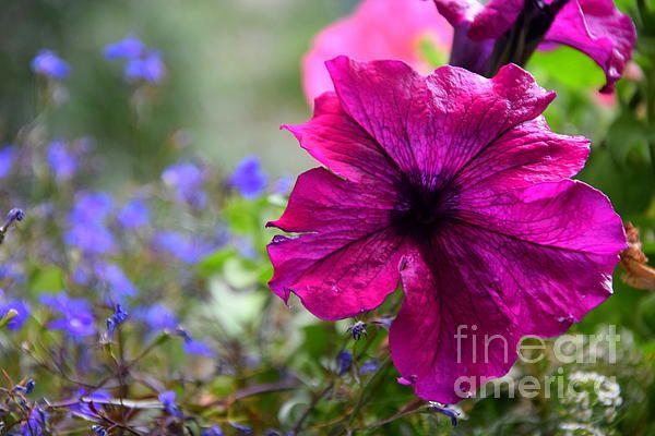 pink petunia