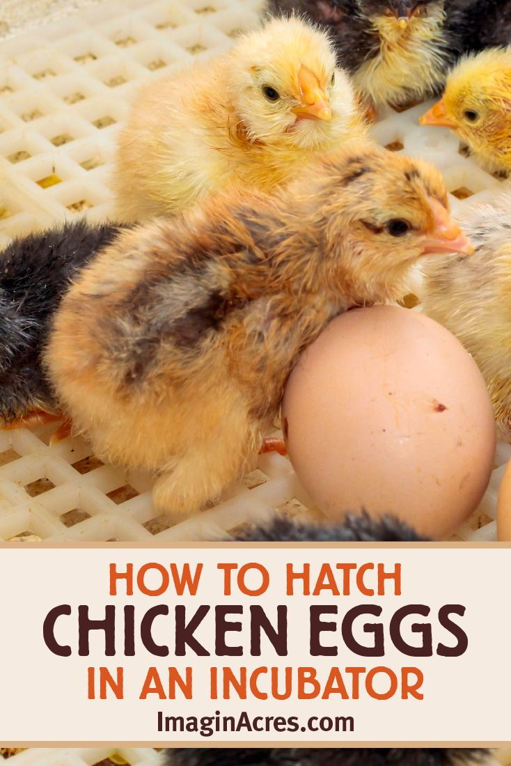 Incubating Eggs How To Hatch Chicken Eggs Using An Incubator Imaginacres In 2020 Backyard Chickens Eggs Chickens Backyard Hatching Chickens