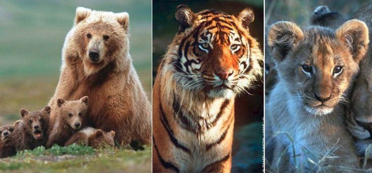 Los mejores mensajes para concienciar en el Día Mundial de la Vida Silvestre: #diamundialdelavidasilvestre #animales #animal #tigres #tigre #leones #naturaleza #leon #osos #oso #lobo #lobos #biologia #animals #noticia #noticias #fauna #schnauzi #foto #fotos