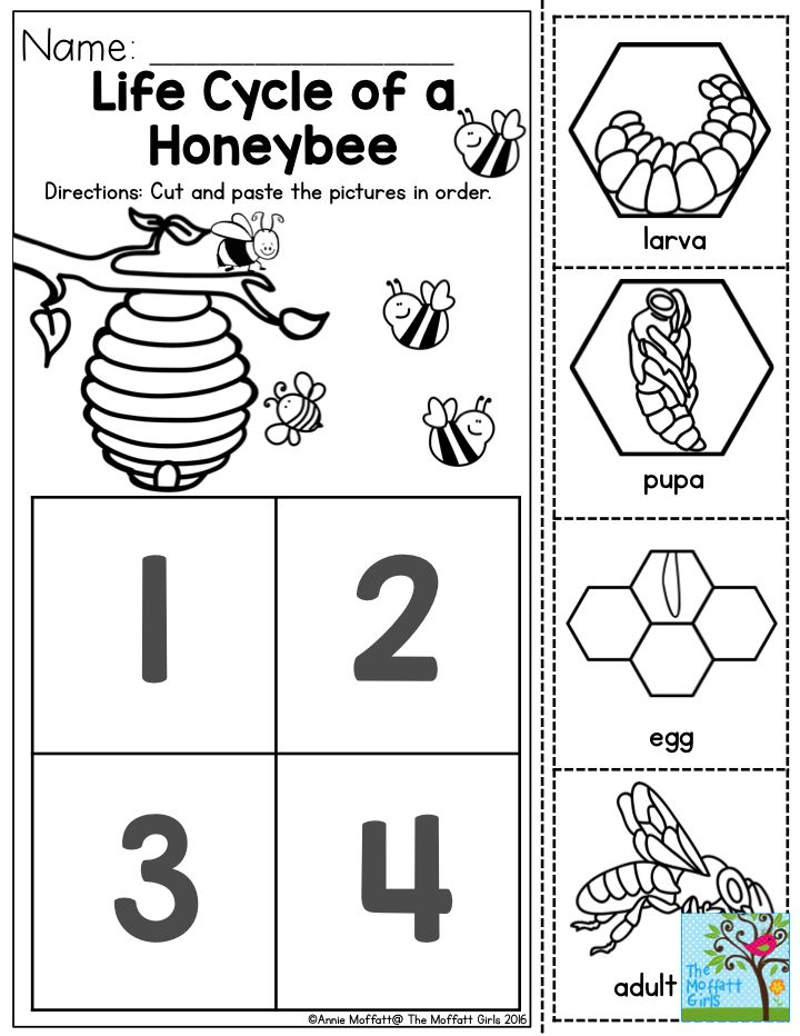 Life Cycle of a Honeybee- Preschoolers love learning about how insects help our environment.  This would be a great simple sequencing activity to incorporate into an insect unit!