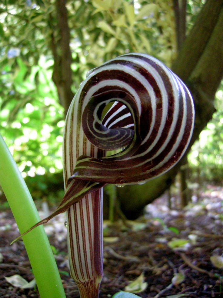The flowers of Farges's cobra lily (Asian jack-in-the-pulpit)